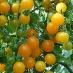 มะเขือเทศโกลด์รัชเคอเร้นท์ - Goldrush Currant Tomato