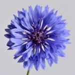 คอร์นฟลาวเวอร์สีฟ้า - Blue Cornflower