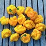 พริกจาไมก้าสก็อตบอนเนทสีเหลือง - Yellow Jamaican Scotch Bonnet Pepper