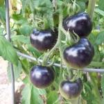 มะเขือเทศอินดิโกโรส - Indigo Rose Tomato
