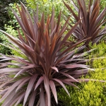 จันผาออสเตรเลียสีม่วง - Cordyline australis Purpurea
