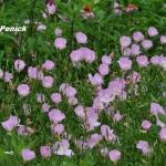 อีฟนิ่งพริมโรสสีชมพู - Pink Evening Primrose