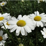 ไพรีทรัมสีขาว - White Pyrethrum (ไล่แมลง)