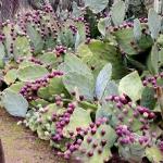 กิ่งพริคลี่แพร์โกเมยเม็กซิโก - Opuntia Old Gomei Mexico