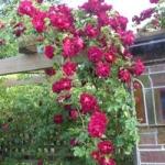 กุหลาบเลื้อยสีแดงเข้ม - Dark Red Climbing rose