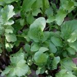 ร็อกเก็ต - Eruca sativa