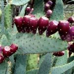 กิ่งพริคลี่แพร์ลิ้นวัว - Opuntia Engelmannii