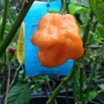 พริกจาไมก้าสก็อตบอนเนทสีส้ม - Orange Jamaican Scotch Bonnet Pepper