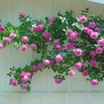กุหลาบเลื้อยสีชมพู - Pink Climbing rose