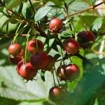 สตรอเบอรี่เมอเทิล - Strawberry Myrtle