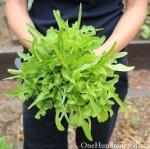ผักสลัดใบโอ๊ค - Oakleaf Lettuce