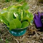 ผักสลัดคอส - Cos Lettuce