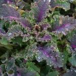 เคลลาซินาโต้เรนโบว์ - Lacinato Rainbow Kale