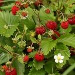 สตรอเบอรี่รูเจน - Reugen Strawberry