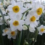 นาร์ซิสซัสทาเซ็ตต้า - Narcissus Tazetta