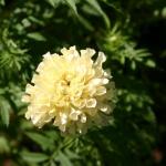 ดาวเรืองสีขาว - White African Marigold