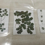 ผักแว่นแห้ง - Dried Marsilea Leaves