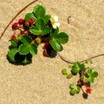 สตรอเบอรี่ชายหาด - Coastal Strawberry (ทนร้อน)