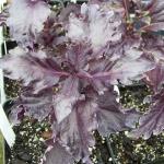 โหระพารัฟเฟิลสีม่วง (ใบหยัก) - Purple Ruffles Basil
