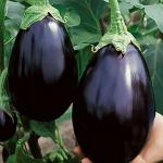 มะเขือม่วงแบล็กบิวตี้ - Black Beauty Eggplant