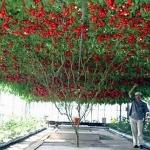 มะเขือเทศต้นอิตาลีทริปแอลครอป - Trip L Crop Tomato