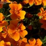 ดาวเรืองแทงเกอรีนเจ็ม - Tangerine Gem Tagetes