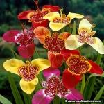 ดอกลายเสือคละสี - Mixed Tigridia