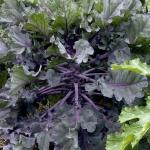 เคลลูกผสมกะหล่ำดาว - Kale Sprout