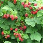 ราสพ์เบอรี่แดง - Red Raspberry