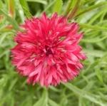 คอร์นฟลาวเวอร์สีแดง - Red Cornflower