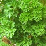 พาร์สเลย์มอสเคิร์ล - Moss Curled Parsley