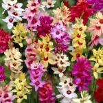 วิธีปลูกหัวดอกไม้ (ไอเซีย สปาราซิส)