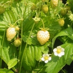 สตรอเบอรี่ไวท์โซล - White Soul Strawberry