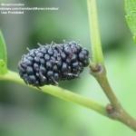 หม่อนดำ - Black Mulberry