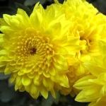 เก๊กฮวยเหลือง - Chrysanthemum morifolium