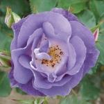 กุหลาบเลื้อยสีม่วงอ่อน - Bluemoon Climbing rose