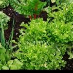 ผักสลัดแอชบรูค - Ashbrook Lettuce