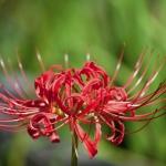 หัวลิลลี่แมงมุมคละสี (ฮิกังบานะ) - Spider Lily