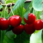 เชอรี่แดง - Red Cherry