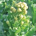บรอกโคลี่ดอกสีขาว - White Sprouting Broccoli