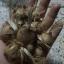 หญ้าฝรั่น - Crocus Sativus thumbnail 5