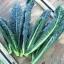 เคลเนโรดิทอสคาน่า - Nero di Toscana Kale thumbnail 2