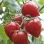 มะเขือเทศหัวใจ - Tomatoberry thumbnail 1