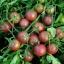 มะเขือเทศเชอรี่สีดำ - Black Cherry Tomato thumbnail 2