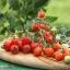 มะเขือเทศหัวใจ - Tomatoberry thumbnail 2