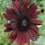 ทานตะวันแบล็กเมจิก F1 - Black Magic F1 Sunflower thumbnail 1