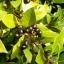 ต้นกระวาน - Bay leaf (Laurus nobilis) thumbnail 1