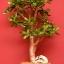 ต้นคลาสซูล่า - Jade Plant (Crassula ovata) thumbnail 3