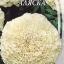 ดาวเรืองสีขาว - White African Marigold thumbnail 5