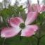 ด๊อกวู๊ดสีชมพู - Pink Dogwood Tree thumbnail 2